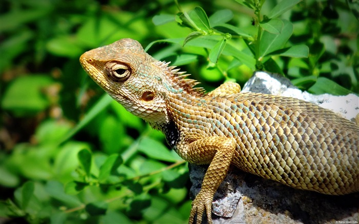 Lizard-Windows Theme Wallpaper Views:2937