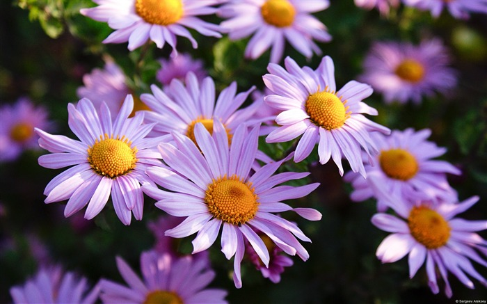 Purple Aster-Windows Theme Wallpaper Views:1748