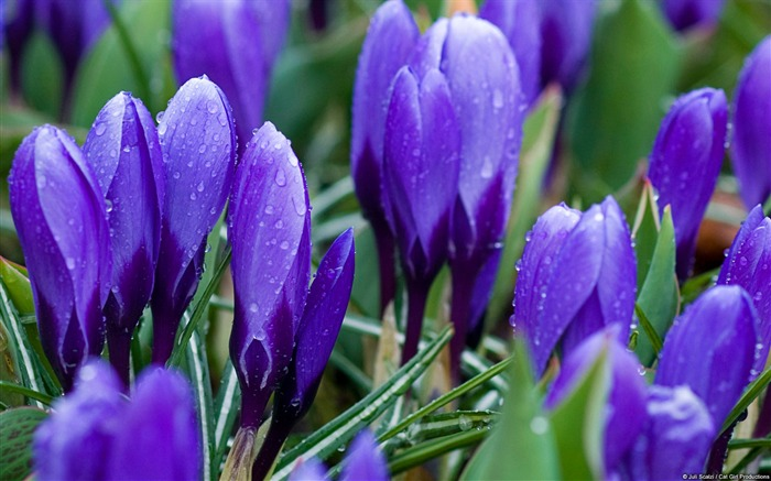 Purple crocus-Windows Theme Wallpaper Views:1547