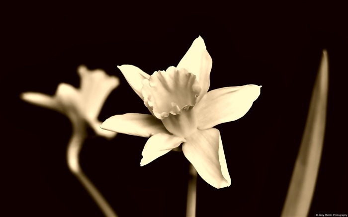 Sepia daffodils-Windows Theme Wallpaper Views:1500