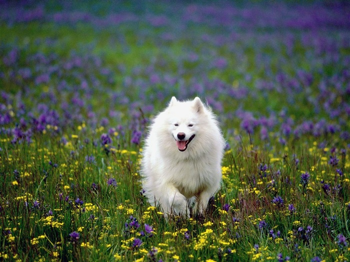 Siberian Samoyed-Animal photo wallpapers Views:1572