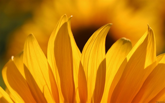 Sunflower petals-Windows Theme Wallpaper Views:2946