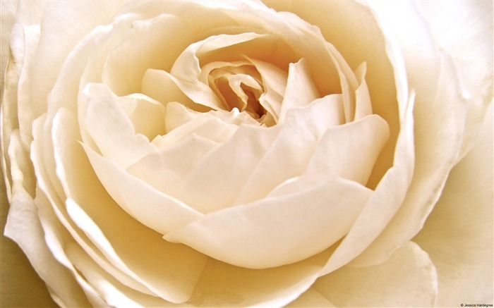 White Rose-Windows Theme Wallpaper Views:2461