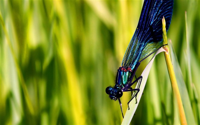 blue dragonfly-Animal photo wallpapers Views:2859