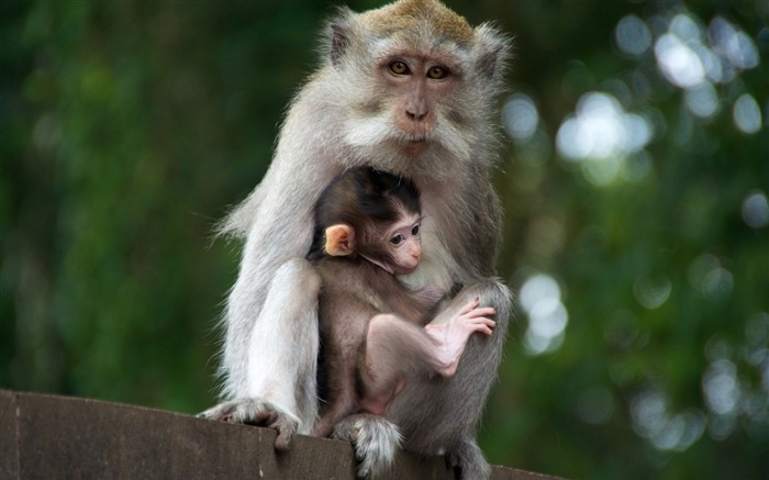 monkey with cub-Animal photo wallpaper Views:2952