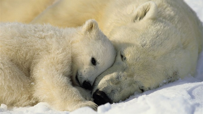 polar bears-Animal photo wallpapers Views:2675