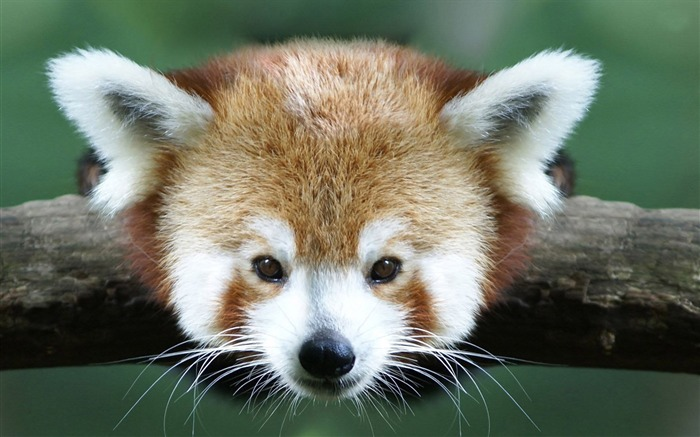 red panda-Animal photo wallpapers Views:3117