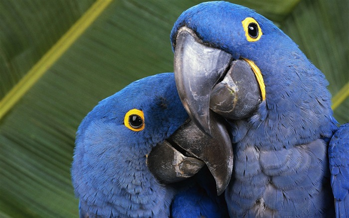 Blue Parrot Bird-Animal HD Wallpaper Views:2420
