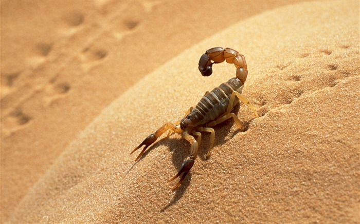 Desert Scorpion-Animal HD Wallpaper Views:2706