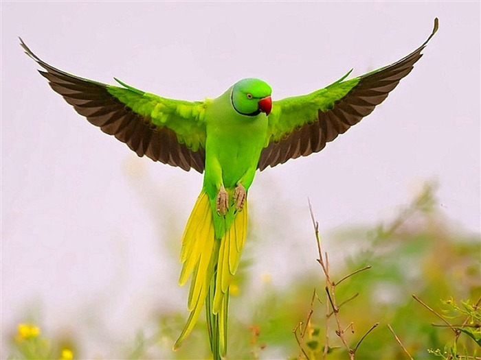 Flying Green Parrot-Animal HD Wallpaper Views:2542