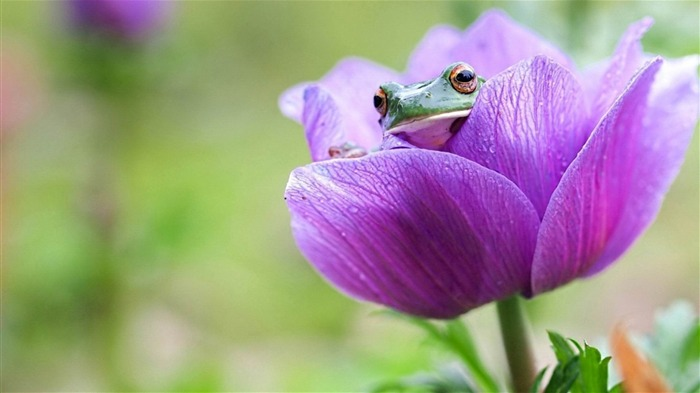 Frog On Purple Flower-2014 high quality Wallpaper Views:1924