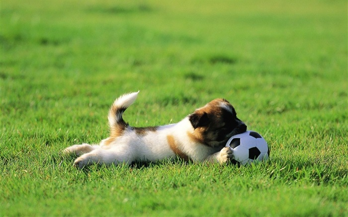 Funny Puppy Playing Ball-Animal HD Wallpaper Views:2873
