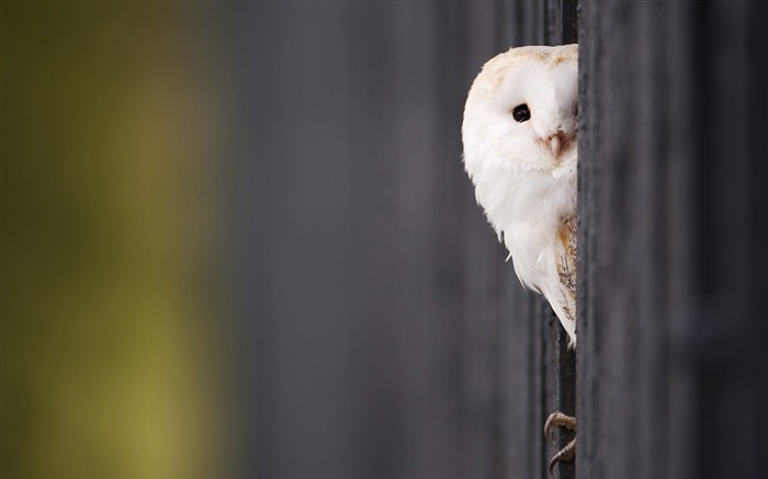 Funny White Owl-Animal HD Wallpaper Views:3374