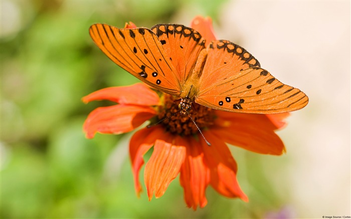 Gulf fritillary butterfly-Windows 10 HD Wallpaper Views:3946