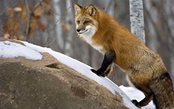 Minnesota Red Fox-Windows 10 HD Wallpaper Views:4924