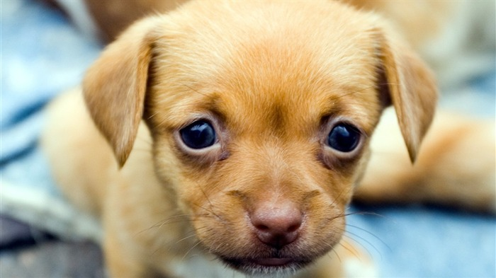 Sad Puppy Face-Animal HD Wallpaper Views:2531