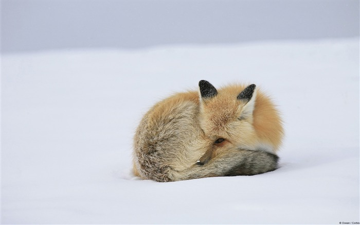 Snow red fox-Windows 10 HD Wallpaper Views:5066