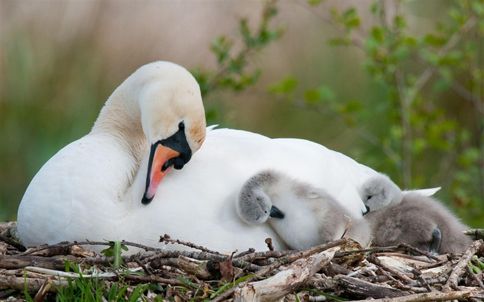 Swan With Babies-Animal HD Wallpaper Views:1499