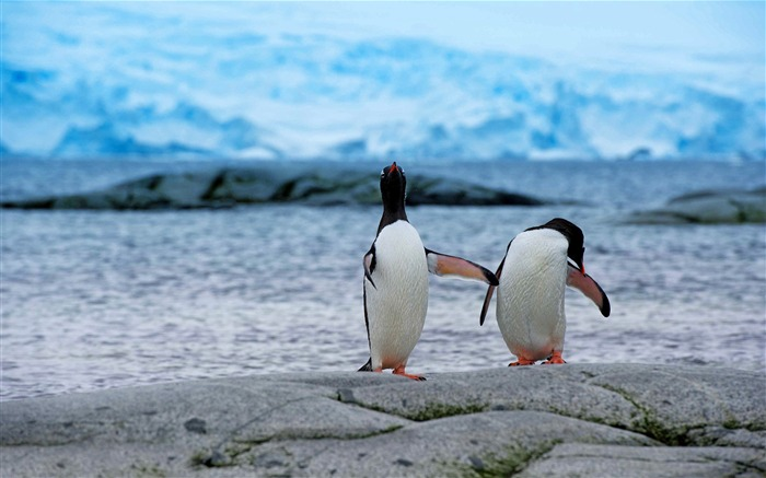 Two Penguins-Animal HD Wallpaper Views:1376