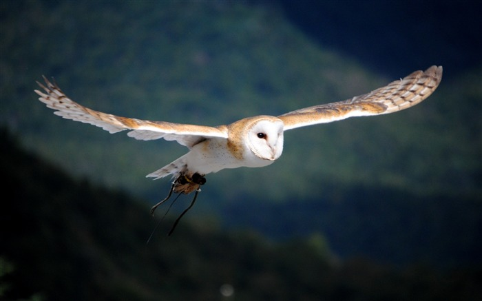 White Owl Flying-Animal HD Wallpaper Views:1838