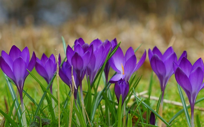 a clump of crocuses-2014 high quality Wallpaper Views:2424