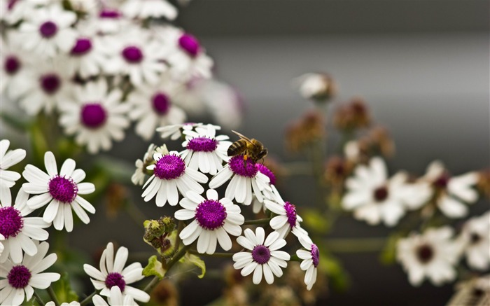 bee beautiful white flowers-2014 high quality Wallpaper Views:2510
