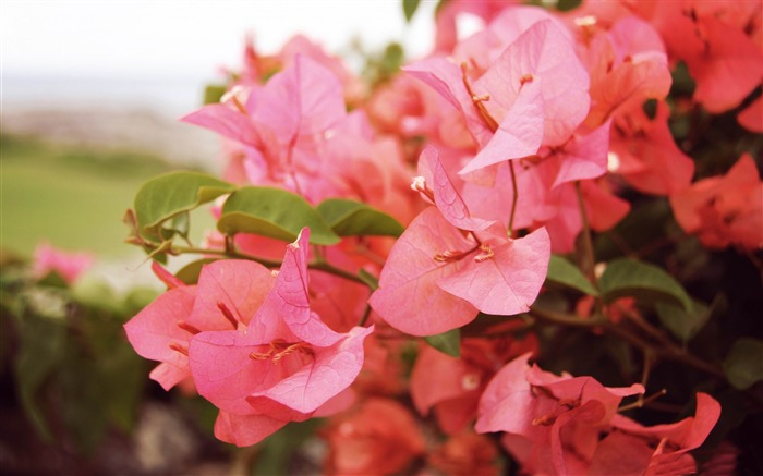 bougainvilleas in kapalua-2014 high quality Wallpaper Views:2631