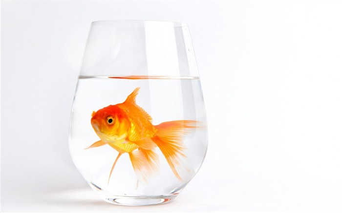 lonely gold fish-Animal HD Wallpaper Views:2253