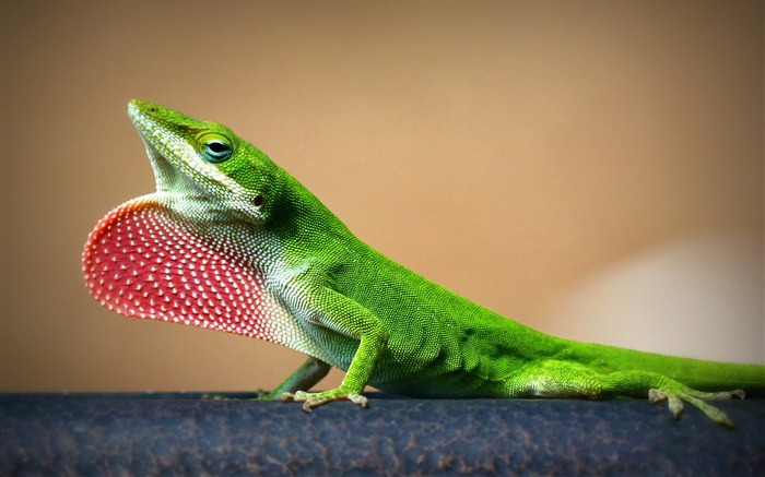 young lizard-Animal HD Wallpaper Views:1432