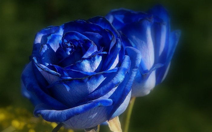 Blue Rose-HD Photography wallpaper Views:3056