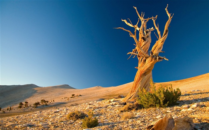 Dead Tree In Desert-High Quality Wallpaper Views:2887