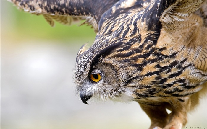 Eagle Owl-Windows 10 HD Wallpaper Views:5091