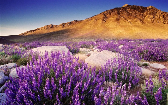 Mountain Purple Flowers-HD Photography wallpaper Views:2067