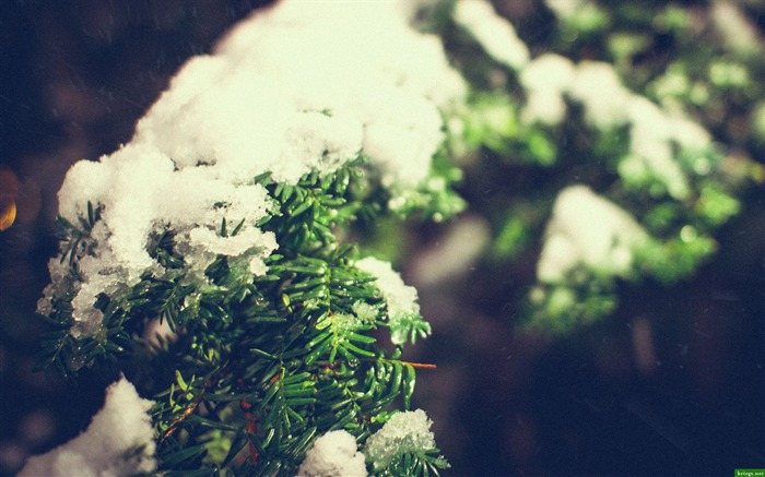 Snow On Pine Leaves-High Quality Wallpaper Views:1604