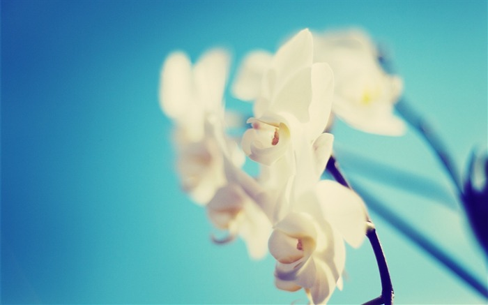 White Orchid-HD Photography wallpaper Views:1739