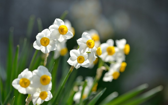 narcissus flowers-HD Photography wallpaper Views:1746