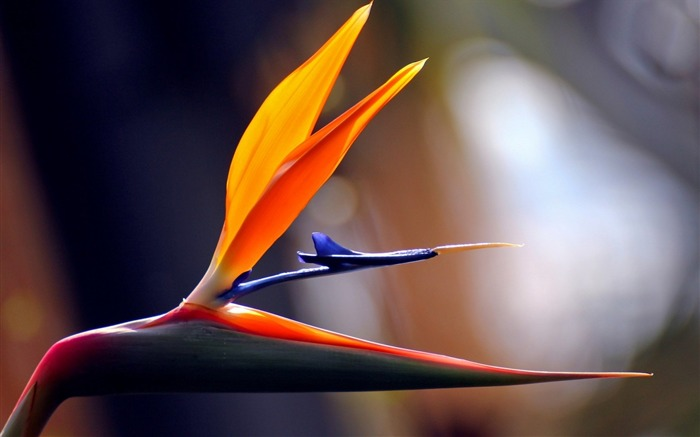 paradise strelitzia africa-HD Photography wallpaper Views:2088