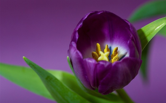 tulip petals purple-HD Photography wallpaper Views:2356