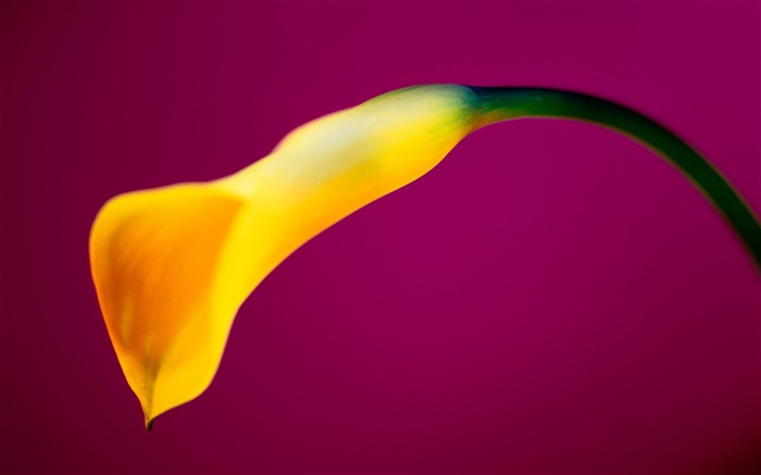 yellow calla flower-HD Photography wallpaper Views:1816