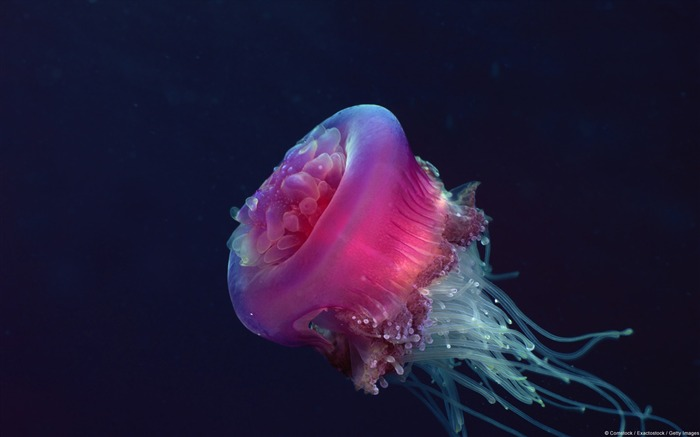 Crown jellyfish-Windows 10 HD Wallpaper Views:5809