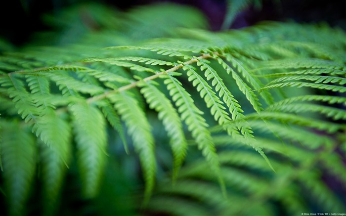 Green ferns-Windows 10 HD Wallpaper Views:3935