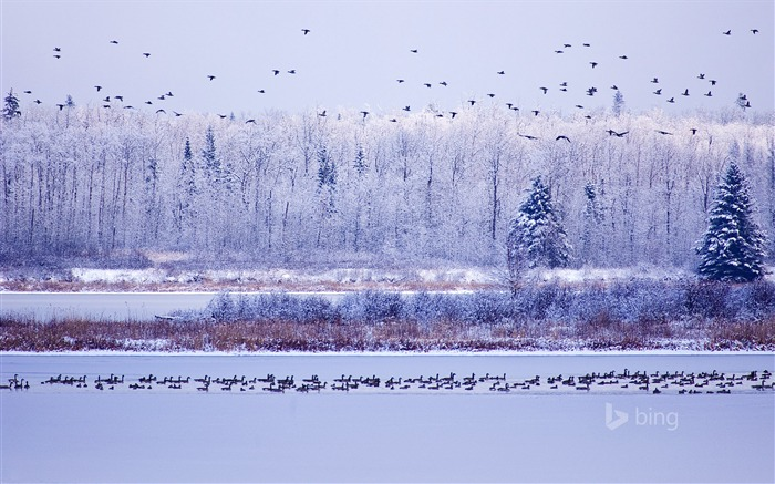 Winter migratory birds-Bing theme wallpaper Views:1429
