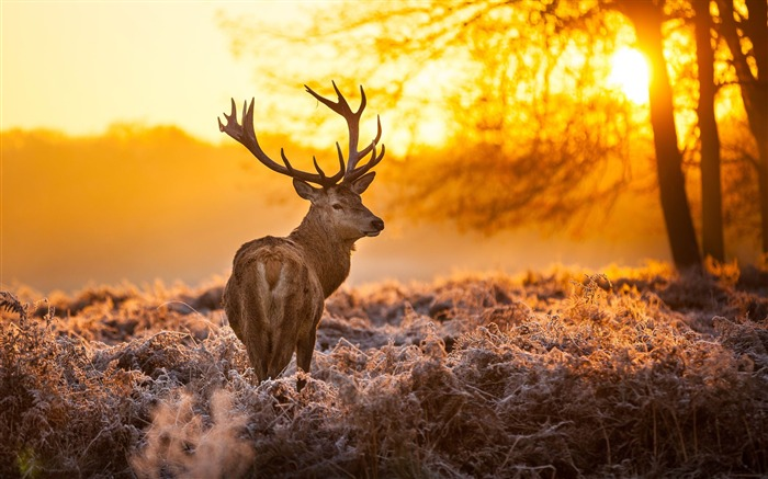 Elk Animal photography theme HD Wallpaper Views:8277
