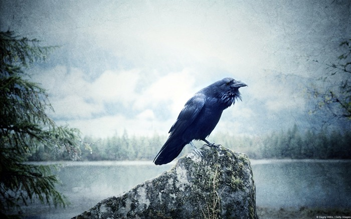 Raven at Wilderness Lake-Windows 10 HD Wallpaper Views:4103