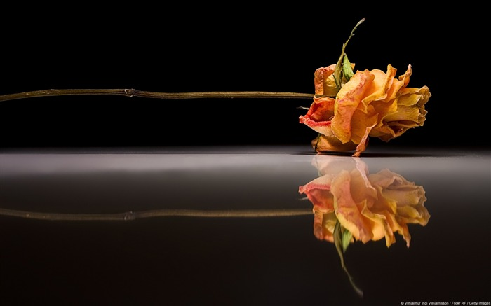 Rose Reflection-Windows 10 HD Wallpaper Views:2940