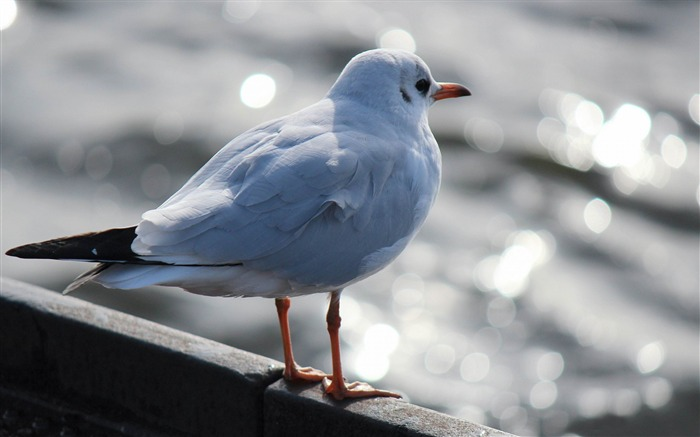 White Seagull-Photography HD Wallpaper Views:1281