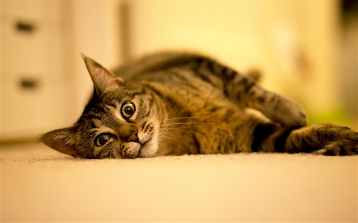 cat lies thick striped-Photography HD Wallpaper Views:2257