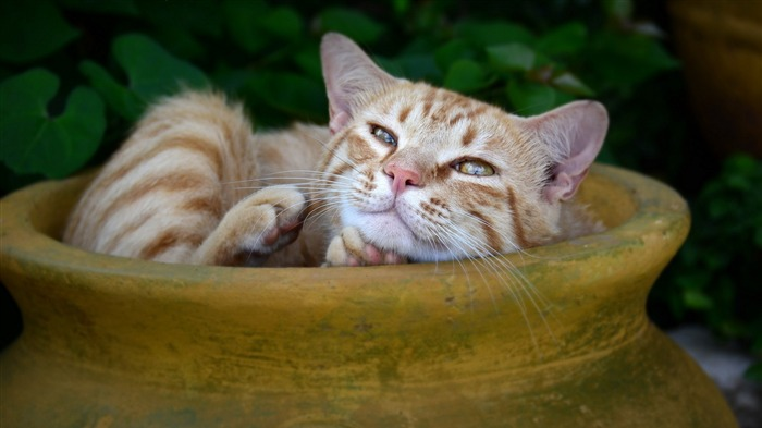 cat redhead striped-Photography HD Wallpaper Views:2159