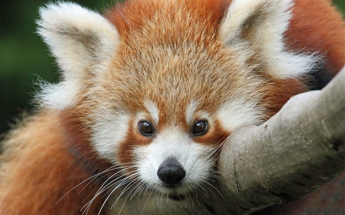 cute red panda-Photography HD Wallpapers Views:1845