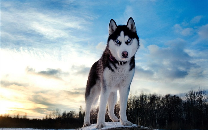 husky dog hill snow-Photography HD Wallpaper Views:2756